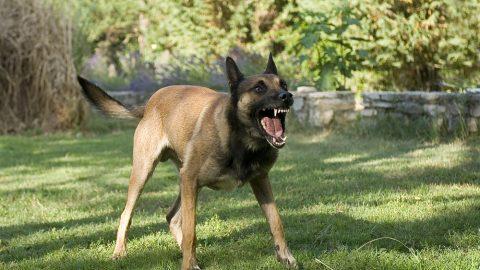 Dangerous German Shepard