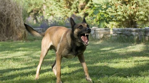 Dangerous German Shepard