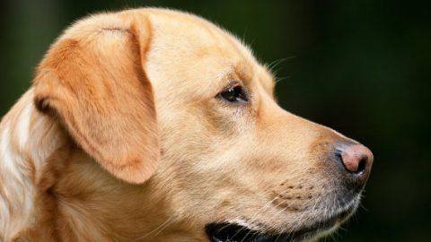 Sniffer dog head