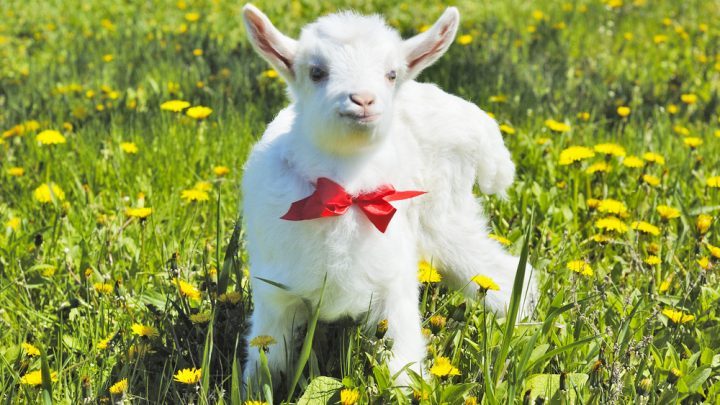 Goat in a bow and tie