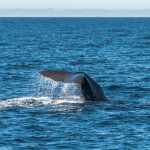 Whaling Company Fined for Wilful Contempt