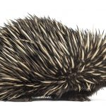 Selfie with Stolen Echidna Gets Men into Strife