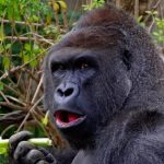 Police May Press Charges After Child Falls into Gorilla Enclosure