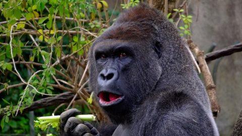 Gorilla eating celery