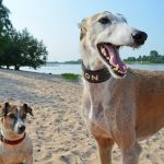 Greyhound Adoption Program and Friends of the Hound: For the love of dogs