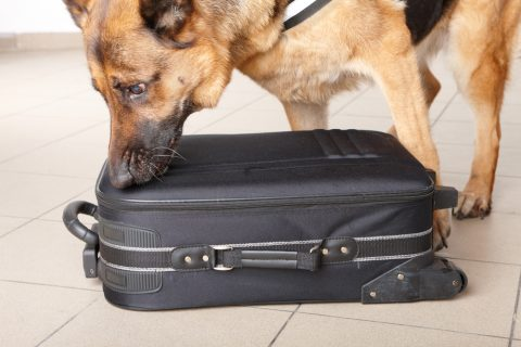 Airport sniffer dog