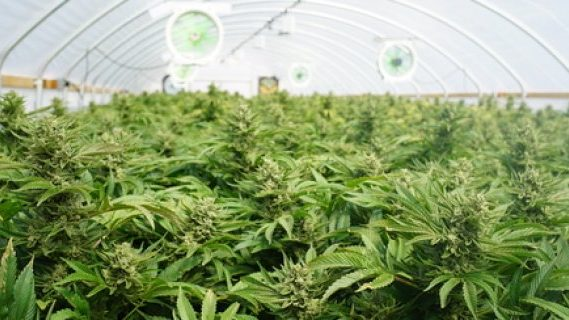 Cannabis legally growing
