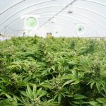 We're Importing Medical Marijuana, While Police Are Raiding Local Producers