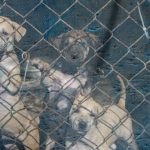 Victoria Bans Pet Shops from Selling Puppies