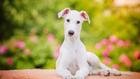 Greyhound puppy