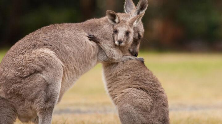 Kangaroos hugging